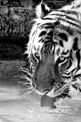 Tiger At The Watering Hole Art Print by Tracie Kaska