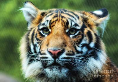 Tiger Art Print by Billie-Jo Miller