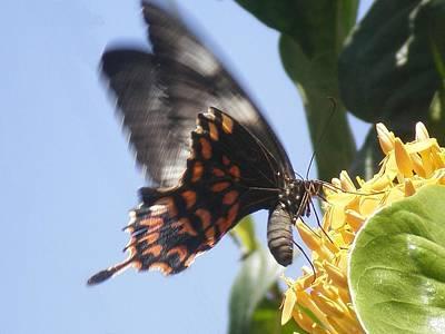 Photograph - Tiger Butterfly by Rupak Sengupta