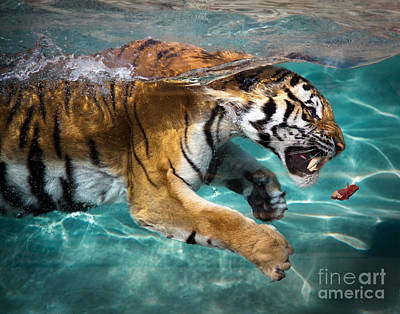 Photograph - Tiger Chasing Meat by Sean Duan