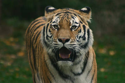 Animals Photos - Tiger by David Rucker