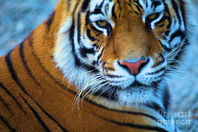 Photograph - Tiger Eyes by Adam Jewell
