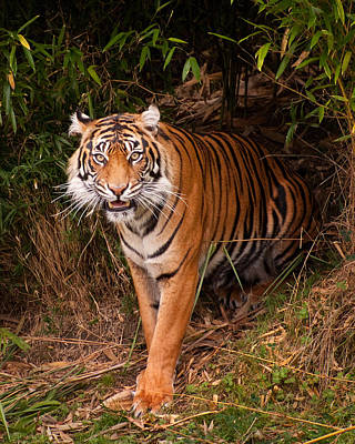 Photograph - Tiger In The Forest by Jeanette Mahoney