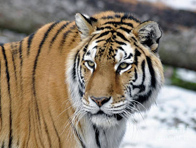 Photograph - Tiger In Winter by Ronald Grogan