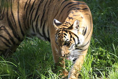 Photograph - Tiger by Jerry Bunger