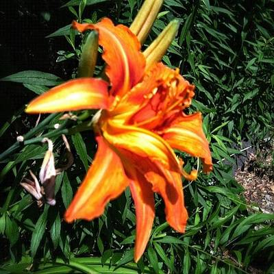 Lilies Wall Art - Photograph - Tiger Lily #snapseed #flower #flowers by Tyler McCall