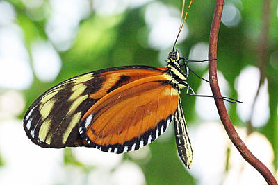 Becky Photograph - Tiger Longwing Butterfly by Becky Lodes