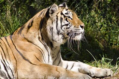 Photograph - Tiger Observations by LeeAnn McLaneGoetz McLaneGoetzStudioLLCcom