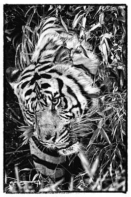 Photograph - Tiger by Perla Copernik