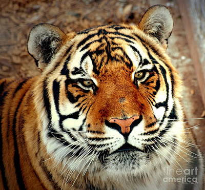 Photograph - Tiger Portrait - A Wildlife Paintograph by Christine S Zipps