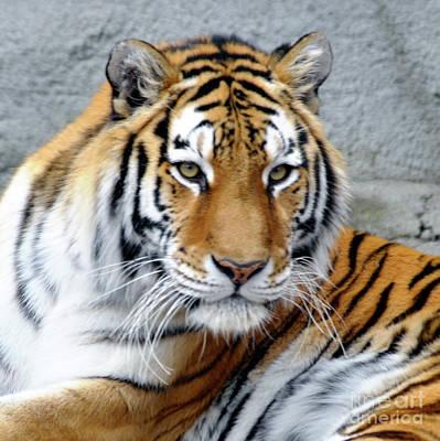 Photograph - Tiger Portrait 2 by Ronald Grogan