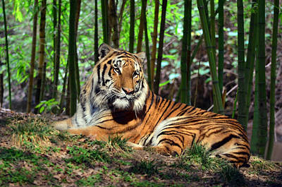 Tiger Rest And Bamboo Art Print by Sandi OReilly