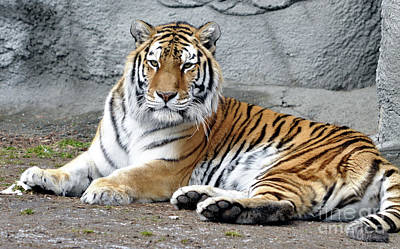 Tiger Resting Art Print