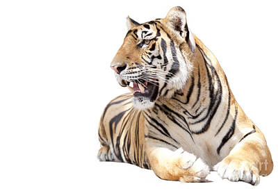 Tiger Sit Original by Anek Suwannaphoom