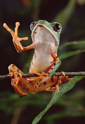 Photograph - Tiger Striped Leaf Frog Waving by Claus Meyer