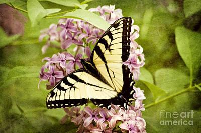 Photograph - Tiger Swallowtail Butterfly by Cheryl Davis