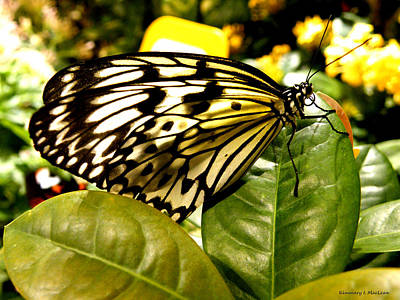 Ebsq Digital Wall Art - Photograph - Tiger Swallowtail Butterfly by Kimmary MacLean