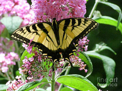 Tiger Swallowtail Butterfly Art Print by Randi Shenkman