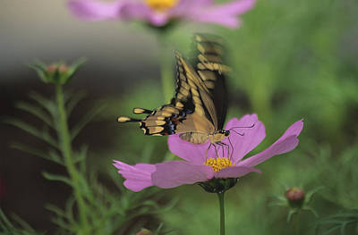 Tiger Swallowtail Butterfly Art Print