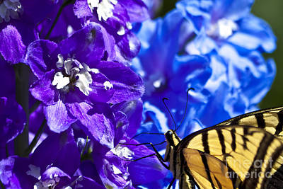 Blue Swallowtail Photograph - Tiger Swallowtail Delphinium Feast 2 by Scotts Scapes