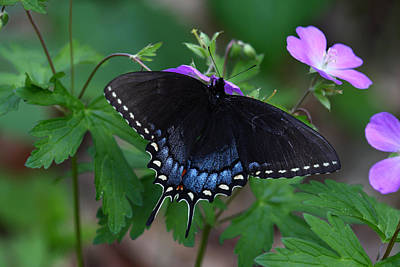 Animals Royalty-Free and Rights-Managed Images - Tiger Swallowtail Female Dark Form On Wild Geranium by Daniel Reed