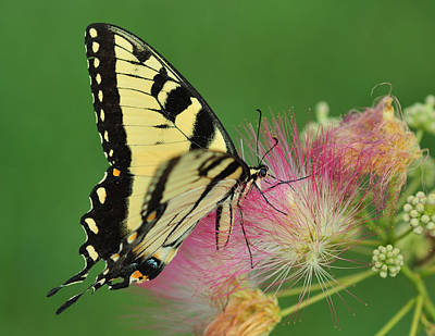 Tiger Swallowtail On Mimosa Original by Donna Caplinger