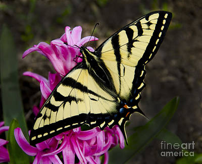 Photograph - Tiger Swallowtail On Pink Hyacinth by Jim And Emily Bush
