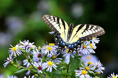 Photograph - Tiger Swallowtail On Purple Aster by Alan Lenk