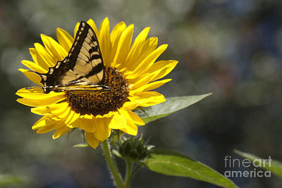 Photograph - Tiger Swallowtail On Sunflower by Jim And Emily Bush