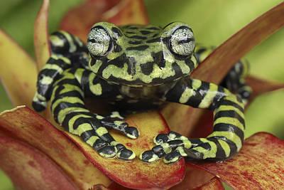Photograph - Tigers Treefrog Hyloscirtus Tigrinus by Thomas Marent