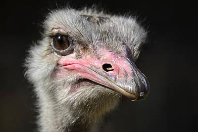 Ostrich Photograph - Tilted by Fraida Gutovich