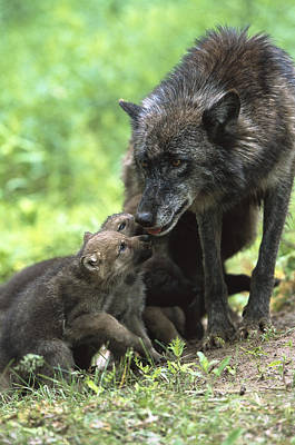 Timber Wolf Canis Lupus Mother Art Print by Konrad Wothe