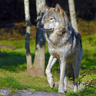 Photograph - Timber Wolf  by Tony Beck