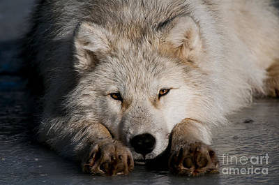 Black. Arctic Wolf Photograph - Time To Chill by Michael Cummings