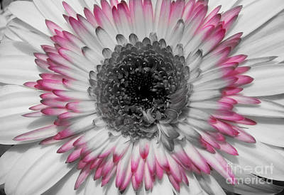 Photograph - Tinted Black And White Gerbera by Jim And Emily Bush