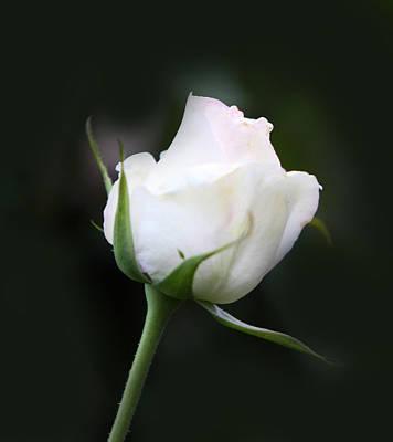 Tinted White Rose Bud Art Print by Linda Phelps