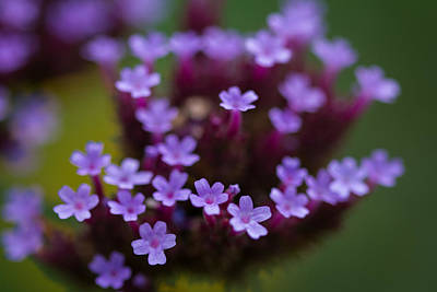 Photograph - tiny blossoms II by Andreas Levi