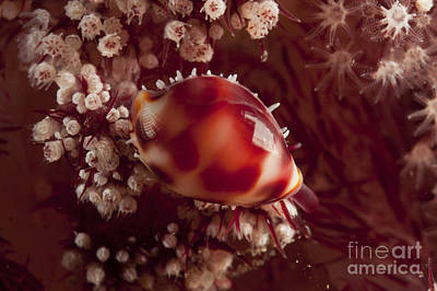 Tiny Cowrie Shell On Dendronephtya Soft Art Print by Mathieu Meur