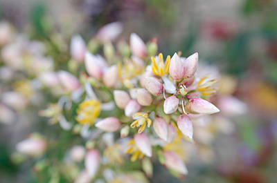 Photograph - Tiny Flower Buds by Margaret Pitcher