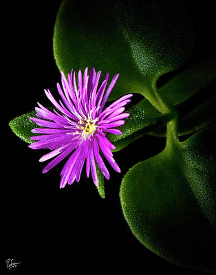 Photograph - Tiny Ice Plant by Endre Balogh