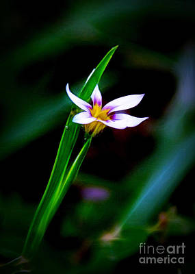 Photograph - Tiny Iris by Judi Bagwell