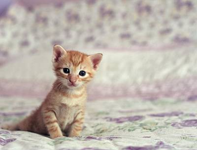 Ginger Cat Photograph - Tiny Kitten Sat On Bed by By Julie Mcinnes