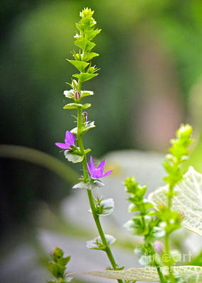 Photograph - Tiny Mountain Wildflower by Carol  Bradley
