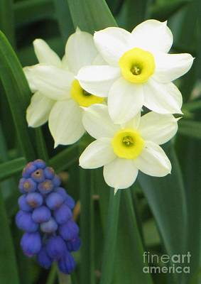 Photograph - Tiny Narcissus by Michele Penner