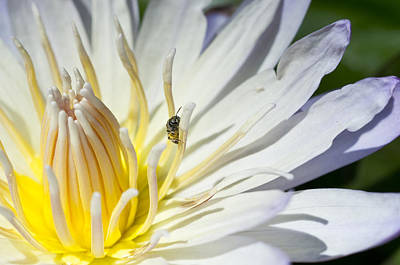 Photograph - Tiny Pollinator  by Priya Ghose