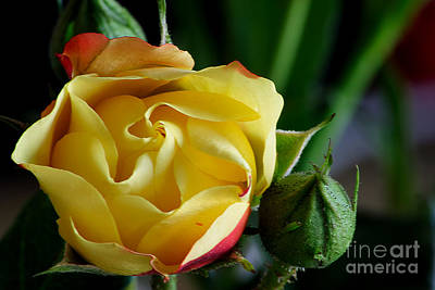Art Print featuring the photograph Tiny Rose by Adrian LaRoque