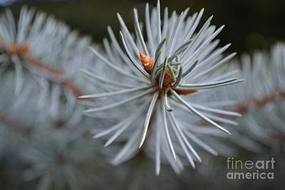 Photograph - Tip  Of The Pine by Justine Gersich