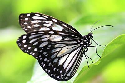 Tirumala Ishmoides Butterfly Art Print by Lars Ruecker