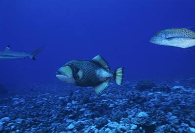 Triggerfish Photograph - Titan Triggerfish by Alexis Rosenfeld