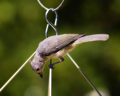 Titmouse Digital Art - Titmouse On Hanger by Bill Tiepelman